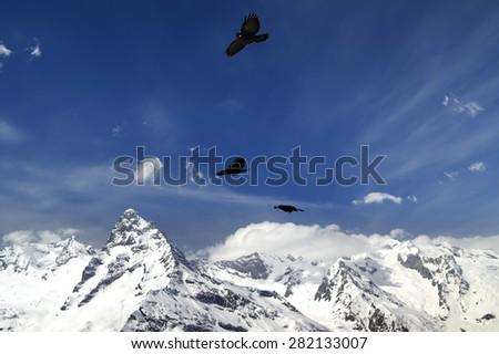 Alpine Chough (Pyrrhocorax graculus) flying in mountains. Caucasus Mountains, ski resort Dombay. - stock photo