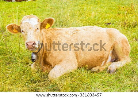 alpine cow in his pasture in high alps - stock photo