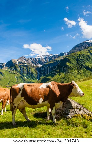 Alpine cow on mountain pasture behind the rock. Summer time in Alps. Blue sky and mountain on background. - stock photo