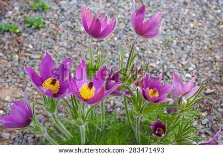 Alpine flowers in Kew Gardens, London, UK - stock photo
