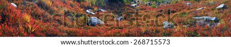 Alpine heathlands after summer bright colors light up glow red and orange leaves of gray stone, covered lichen- very picturesque, causes joy. The berries are very tasty  useful, and simply beautiful. - stock photo