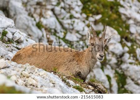 Alpine Ibex female portrait - stock photo
