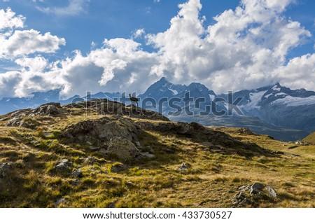 Alpine ibex in Gornergrat, Switzerland - stock photo