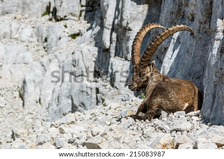 Alpine Ibex male looking back  - stock photo
