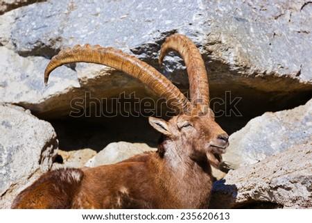Alpine ibex - zoo in Innsbruck Austria - animal background - stock photo