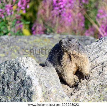 Alpine marmot - stock photo