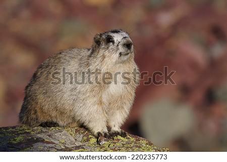 Alpine Marmot a.k.a. Hoary Marmot, Marmota caligata, perched upon glacial rock, sunning itself. Logan Pass, Glacier National Park, Rocky Mountains, Montana    - stock photo