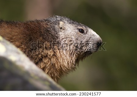 Alpine marmot (Marmota marmota) in the Alpines - stock photo