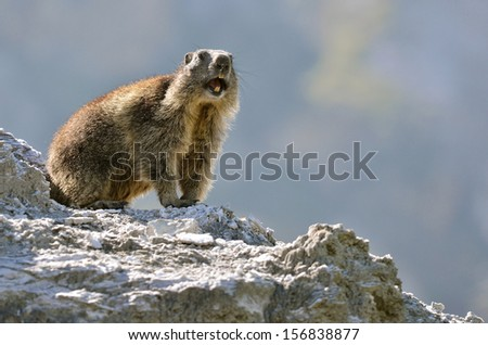 Alpine marmot (Marmota marmota) on rock giving a cry of alarm, in the French Alps, Savoie department at La Plagne - stock photo