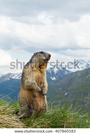 Alpine marmot standing in the grass, with snowy mountains in the background, Austria, Europe - stock photo