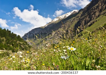 Alpine meadow with flowers daisies and blue sky in the Swiss Alps - stock photo