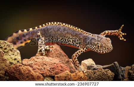alpine newt Mesotriton alpestris European aquatic salamander. An endangered amphibian A male in bright vivid mating colors. - stock photo