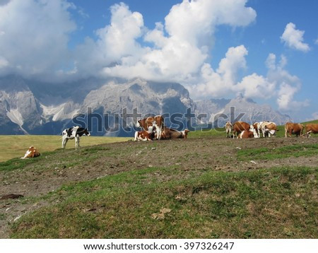 Alpine pasture with cows in foreground and view of Sesto Dolomites, South Tyrol, Italy in background - stock photo