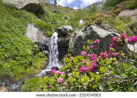 Alpine Rose (Rhododendron Hirsutum) in the Alps. Blooming wildflowers in the European Alps. The Alpine Rose was seen in the Schnalstal Valley, South Tyrol. Focus in foreground on the wildflowers. - stock photo