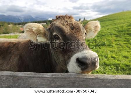 Alps. Cow. - stock photo
