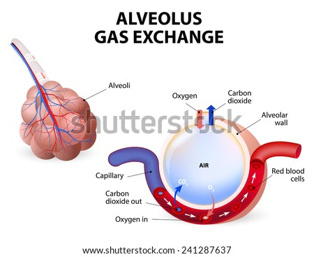 Alveolus. gas exchange. Pulmonary alveolus. alveoli and capillaries in the lungs. - stock photo