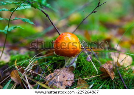 amanita muscaria. Amanita poisonous mushroom. mushroom in the grass. beautiful red and white toadstool - stock photo