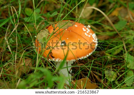 Amanita muscaria, commonly known as the fly agaric or fly amanita, is a mushroom and psychoactive basidiomycete fungus. - stock photo