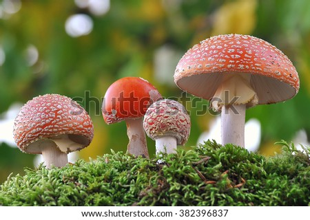 Amanita muscaria family  - stock photo