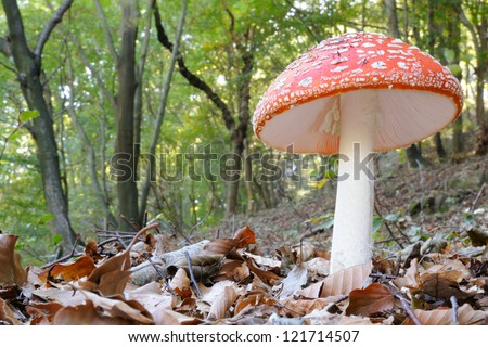 Amanita muscaria in its habitat - stock photo