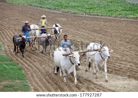 AMARAPURA, MYANMAR - DEC 09, 2013: Plowing rice fields with an ox team. The farmers plows the land ancient method using oxen.  - stock photo