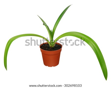 Amaryllis isolated on white with clipping path - stock photo