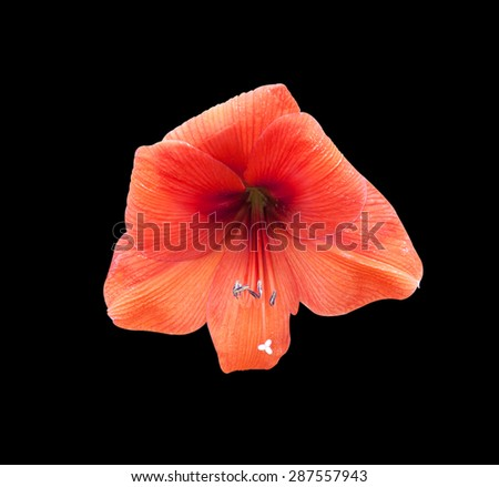 Amaryllis Red flowers are cut off, isolated on a black background. - stock photo