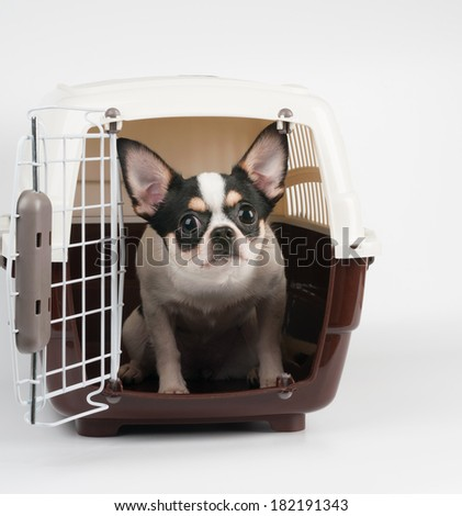 Amazed Chihuahua looks out of pet carrier - stock photo