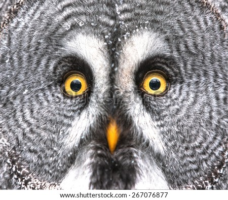 Amazed Great Grey Owl Hdr - stock photo
