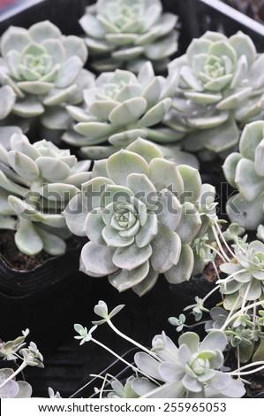 amazing beautiful succulent - stock photo
