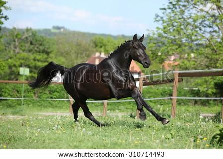Amazing black dutch warmblood running alone in paddock - stock photo