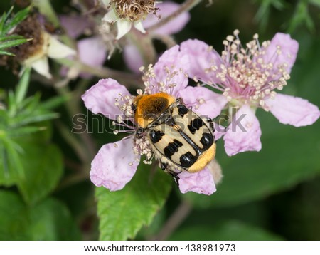Amazing colours of Trichius gallicus, yellow and black beetle on blackberry flower. - stock photo