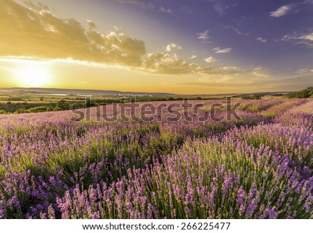 amazing field of lavender in the mountains at sunset - stock photo