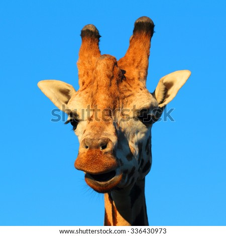 Amazing giraffe portrait against blue sky. - stock photo