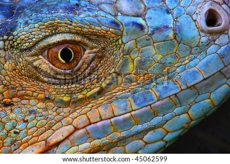 Amazing Iguana specimen displaying a beautiful blue colorization of the scales - stock photo