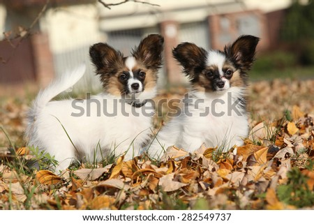 Amazing paillon puppies standing in the autumn leaves together - stock photo