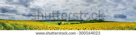 Amazing panoramic view  field of sunflowers by summertime.           - stock photo