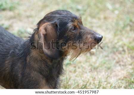 Amazing profile of a cute wire haired dachshund dog. - stock photo