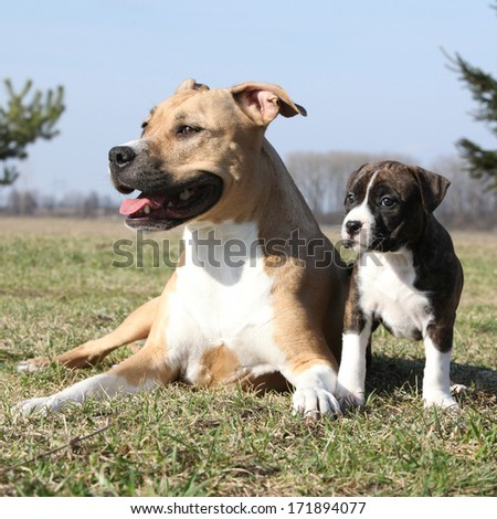 Amazing Stafford bitch lying with its puppy - stock photo