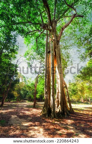 Amazing sunny day at rainforest with giant banyan tropical tree and sunbeams. Nature landscape and travel background. Cambodia - stock photo
