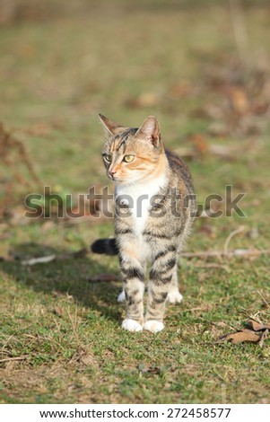 Amazing tricolour cat standing in the garden in autumn - stock photo