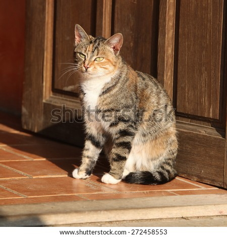 Amazing tricolour cat with nice eyes looking at you - stock photo