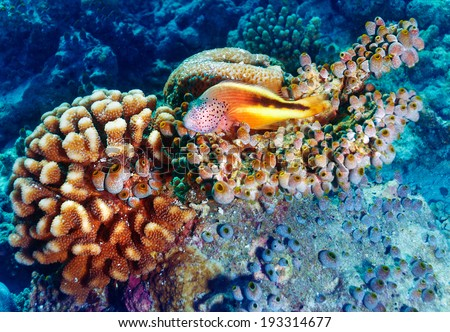 Amazing undersea nature, beautiful colorful coral garden and clownfish between it, beauty of exotic nature, tropical vacation concept  - stock photo