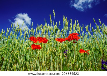 Amazing view of  wheat field and red poppies  by summertime. - stock photo