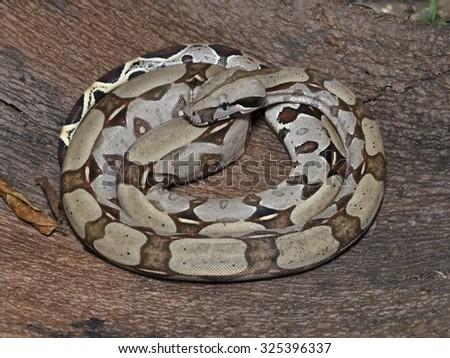 Amazon boa snake - stock photo