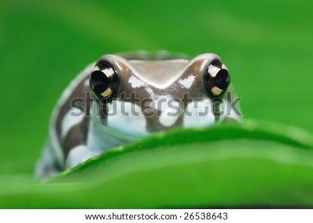 amazon milk frog hidden between green leafs - stock photo