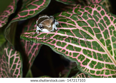 Amazon milk frog (Trachycephalus resinifictrix) emerging from leaves  - stock photo
