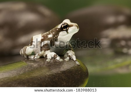 Amazon Milk Tree Frog - Animal Macro Photography - stock photo
