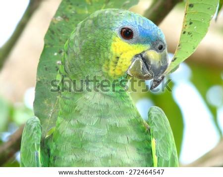 Amazon parrot - stock photo
