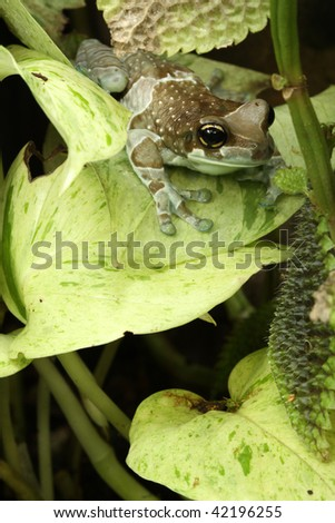 Amazonian Milk Frog (Phrynohyas resinifictrix) - stock photo